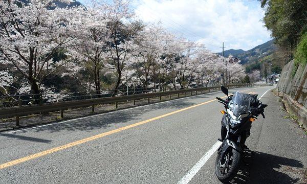 大歩危桜その2
