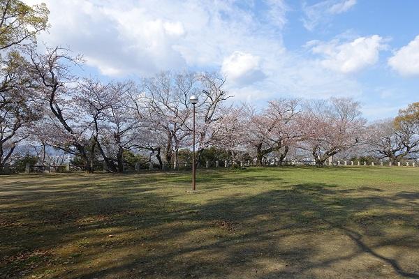 徳島城跡本丸桜