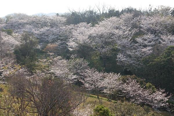平草原公園の桜