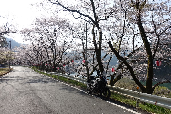 七川ダム湖畔の道路沿い桜