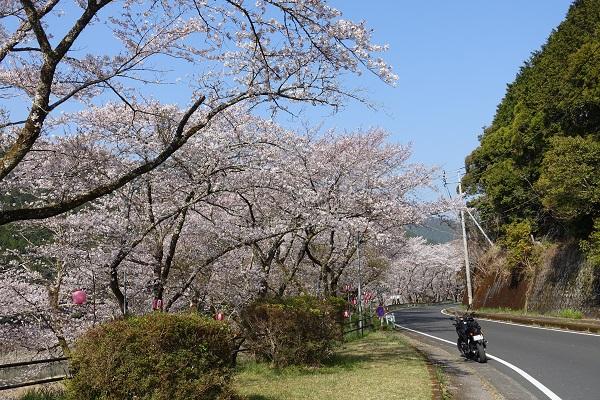 七川ダム湖畔の桜永遠に続きそう