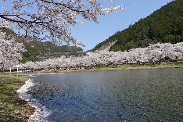 下北山スポーツ公園湖桜