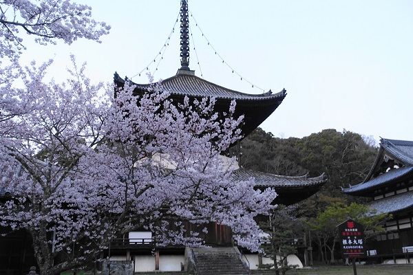 根来寺大塔と桜