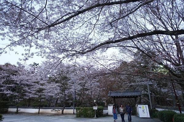 根来寺境内の桜