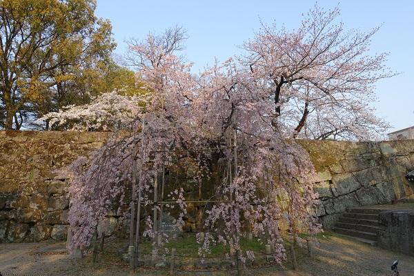 和歌山城枝垂れ桜