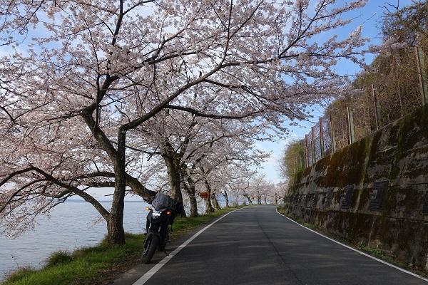 海津大崎桜①