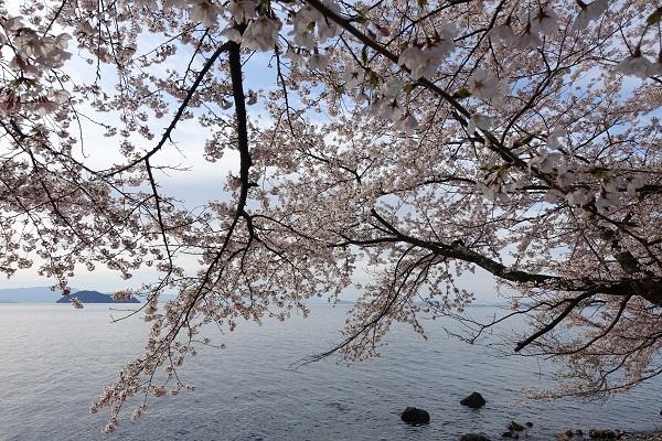 海津大崎桜③