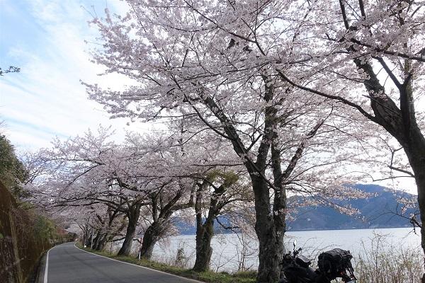 海津大崎桜②