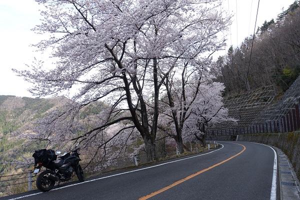 奥琵琶湖パークウェイ桜ゆるいワインディング