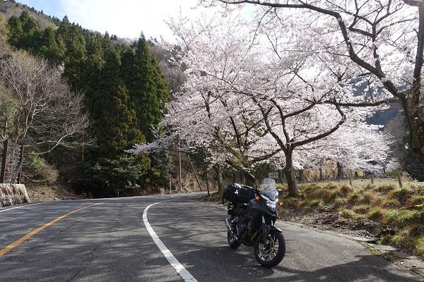 奥琵琶湖パークウェイ桜