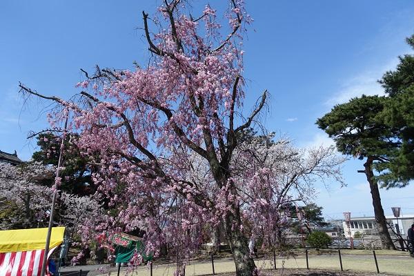本丸の桜その2
