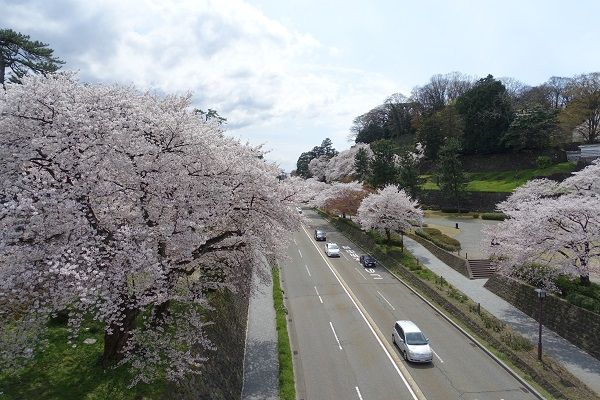 金沢城と兼六園の間の道路の桜