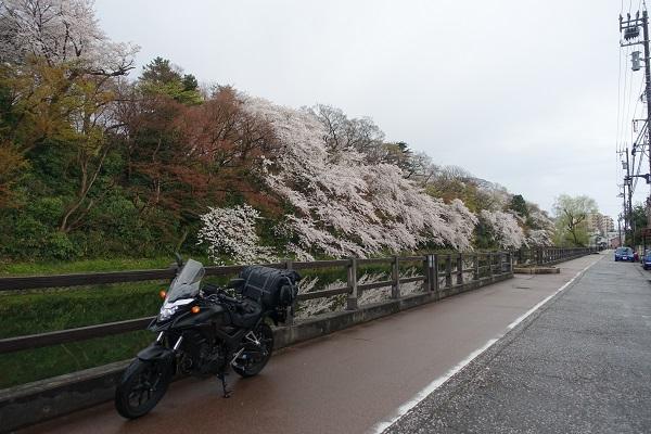 高岡城の外堀と桜