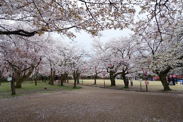 小竹藪の桜