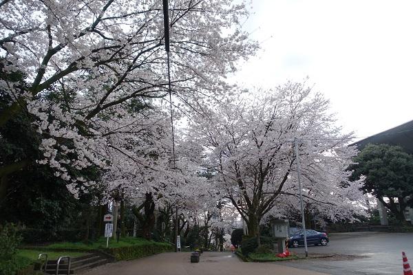 高岡城二の丸の桜
