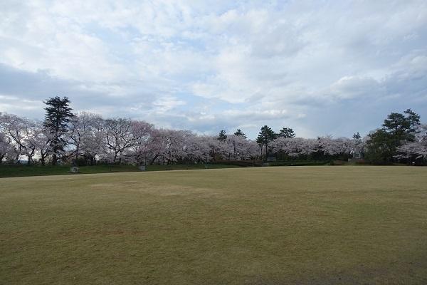 高岡城の桜1