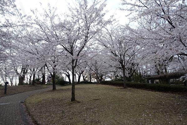 高岡城の桜2