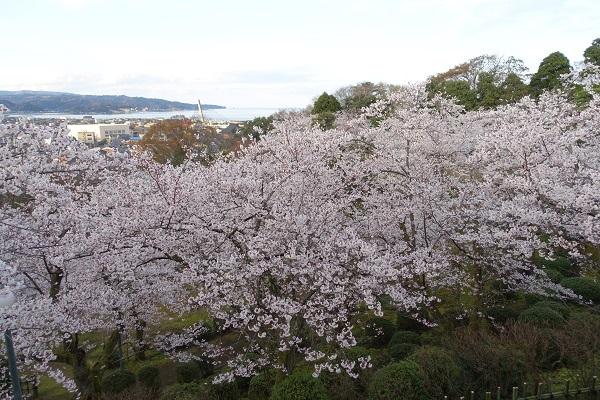 朝日山公園桜