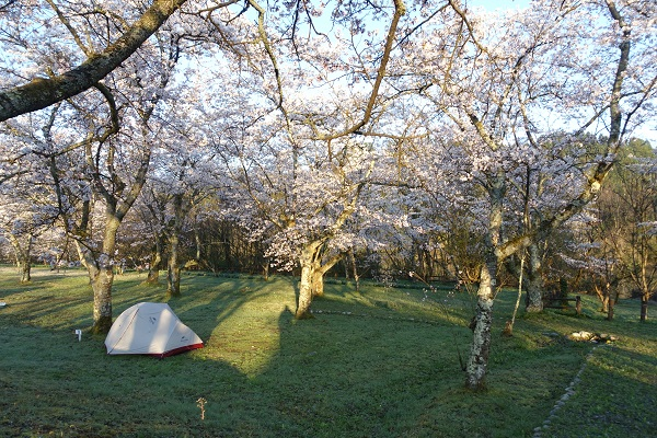 上和田緑地キャンプ場の桜
