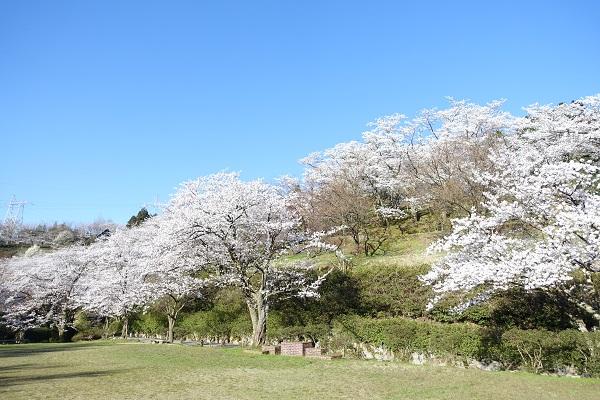 城ケ山公園広場桜