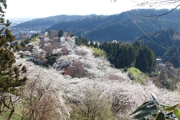 城ケ山公園山を覆う桜