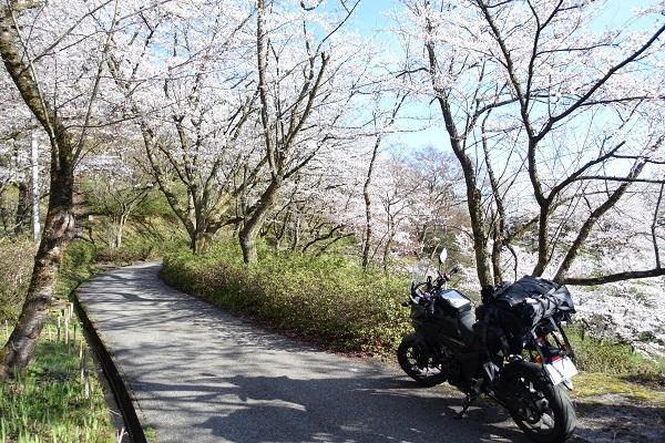 城ケ山公園の桜