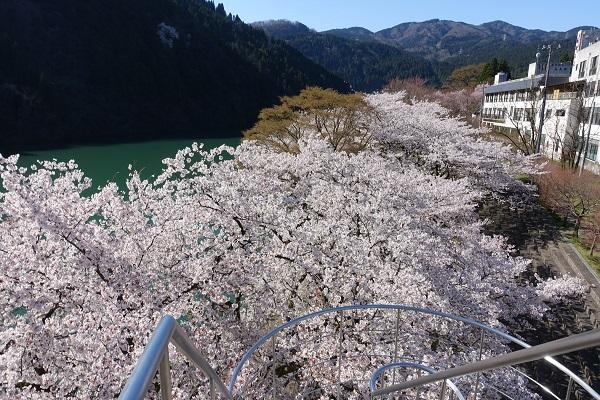 庄川水記念公園展望台に上れば桜