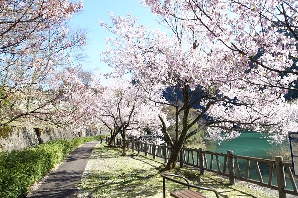 庄川水記念公園遊歩道沿いの桜