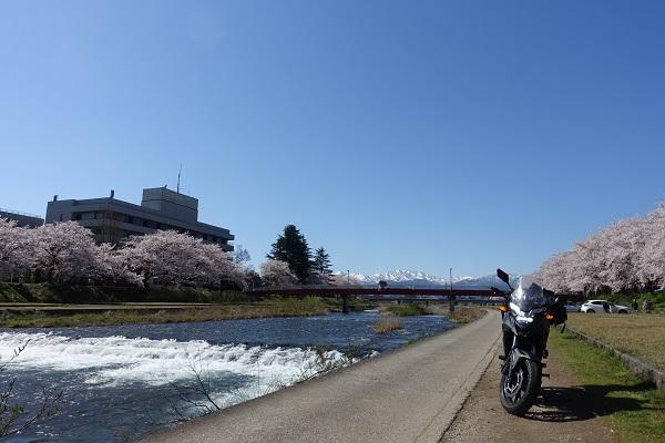 小矢部川公園沿いの桜奥には霜山々