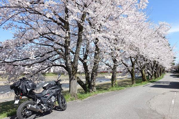 小矢部川公園岸沿いの桜