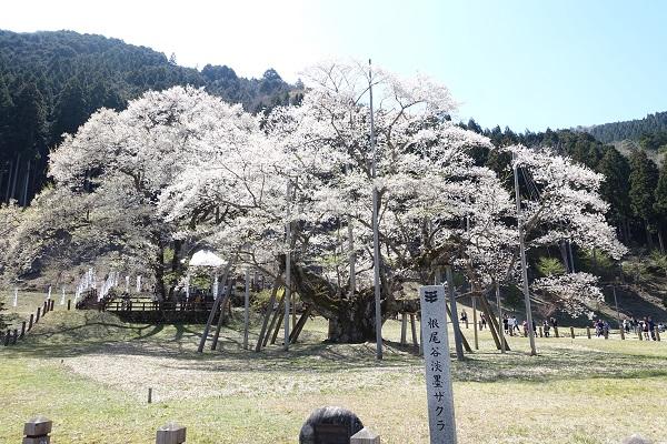 根尾谷淡墨桜
