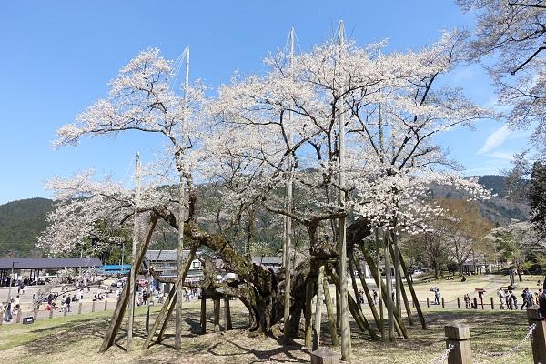 根尾谷淡墨桜を横から