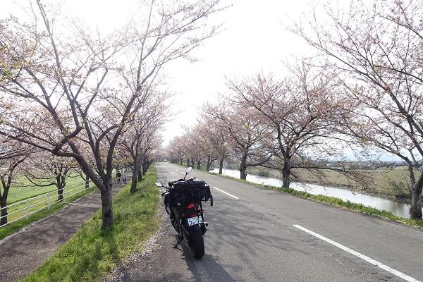 大榑川の桜並木トンネル