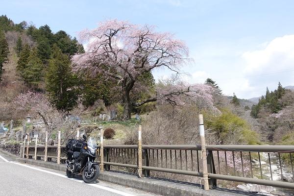 黒船桜正面から