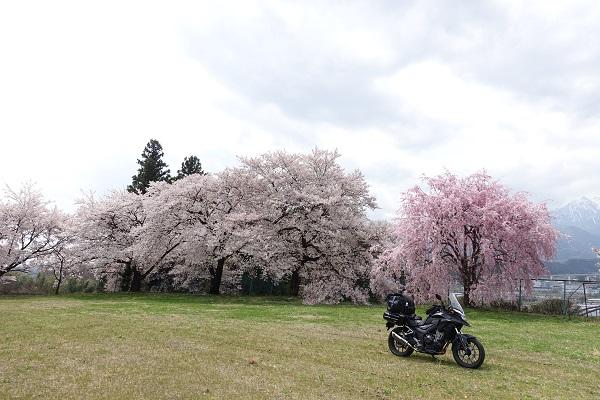 吉瀬の枝垂れ桜近くの広場の桜