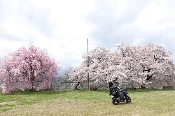 吉瀬の枝垂れ桜近くの広場の桜その②