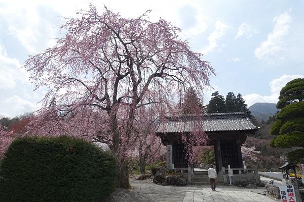 光前寺の桜
