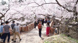 高遠城桜その2