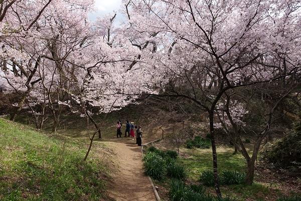 高遠城桜その3