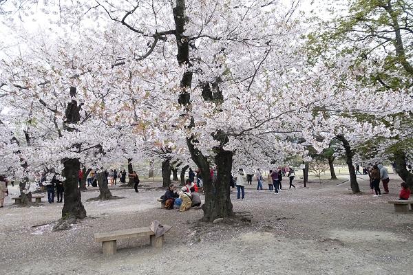 松本城二の丸桜