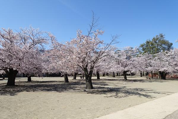 松代城本丸内の桜