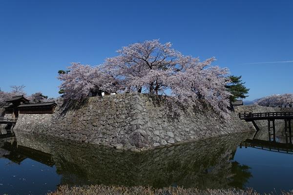 松代城本丸石垣と桜