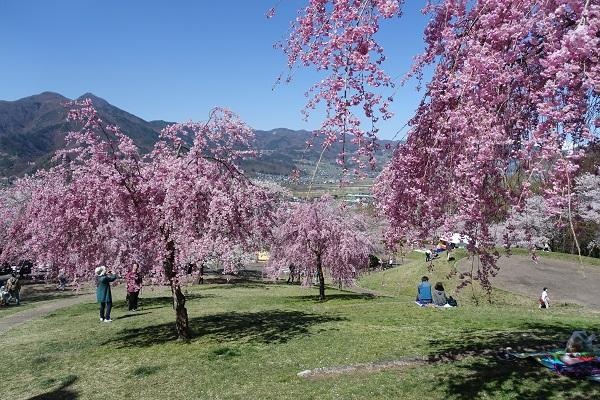 戸倉宿キティパークの桜と眺望