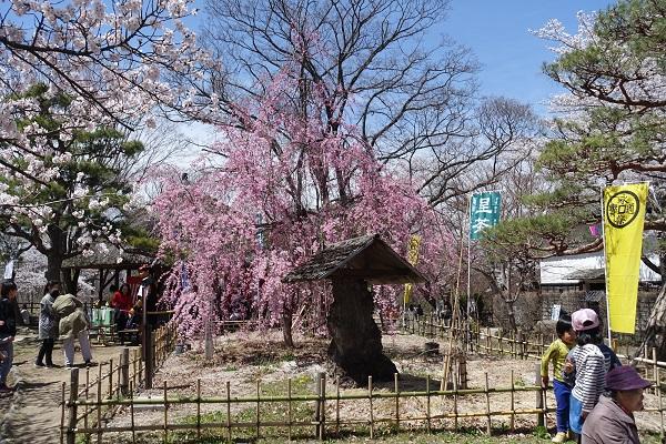 小諸城馬場の桜その1