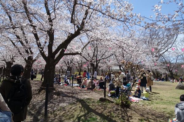 小諸城馬場の桜その2