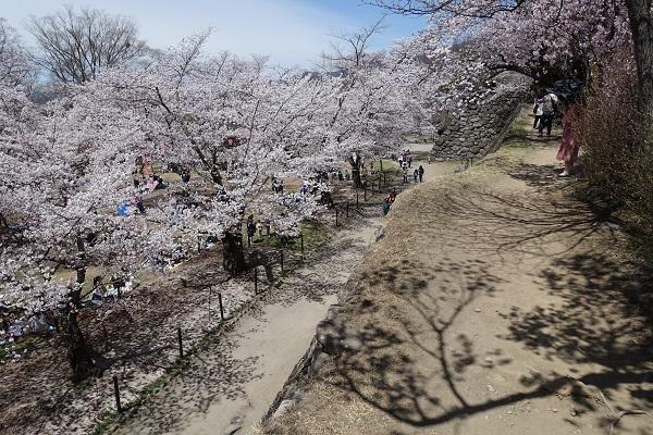 小諸城本丸石垣からの桜