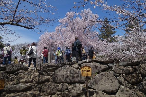 小諸城の天守台桜