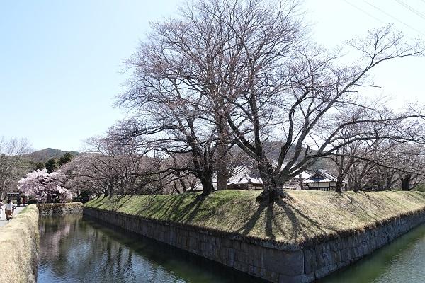 龍岡城の桜