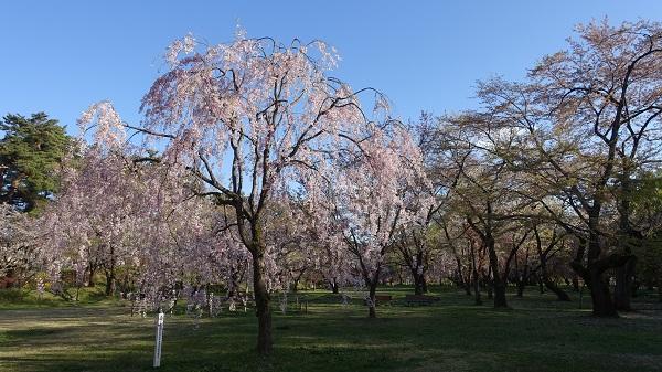 三の丸の桜