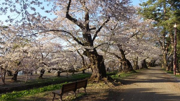 西の郭の桜